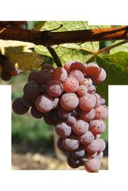 Vinný hrozen